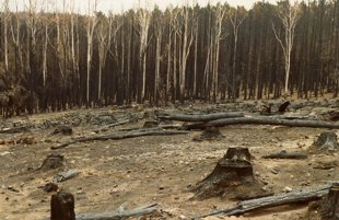 1024px-Burnt_pine_forest_at_Mount_Macedon_after_the_1983_Ash_Wednesday_bushfires