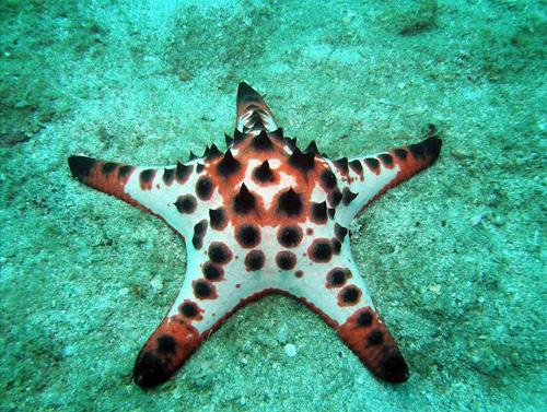 estrella-mar-chocolate-protoreaster-nodosus
