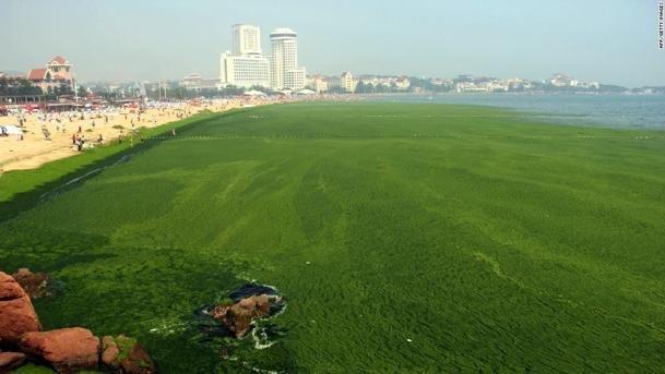 Playa-de-Qingdao-cubierta-de-algas